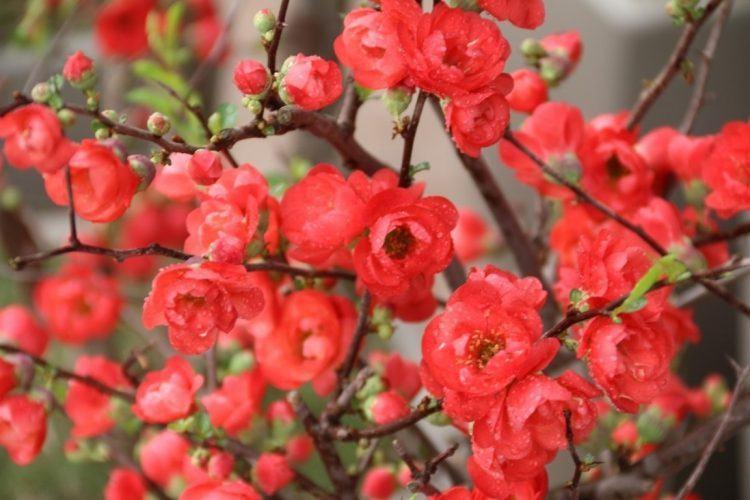 Dây chuyền hoa mai đẹp và ý nghĩa